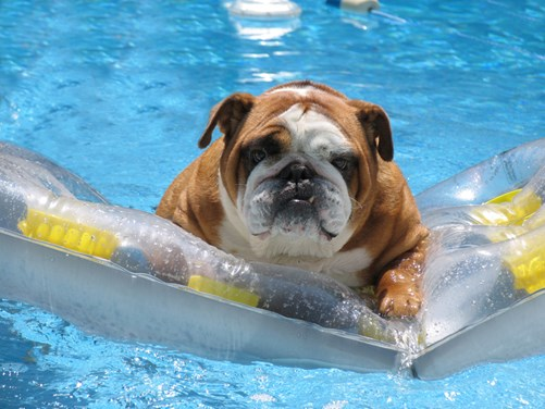 Image of a dog in a pool. Waterproof dog collars will keep your cog's collar smelling fine long after they leave the pool.